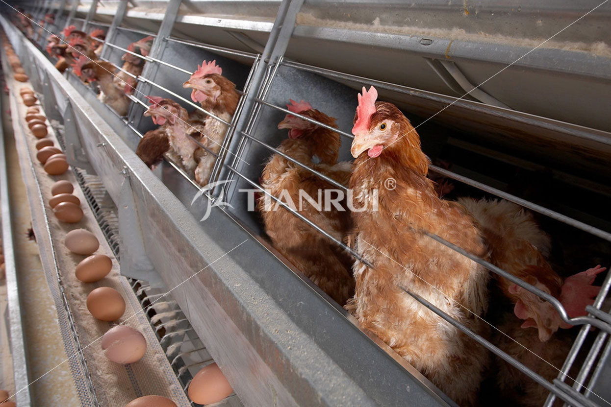 Differences between Battery Cage System and Free-range System