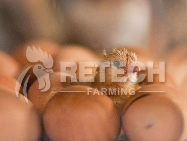 How to improve the fertilization rate of breeding eggs
