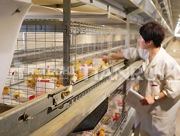 Modern chicken breeding characteristics