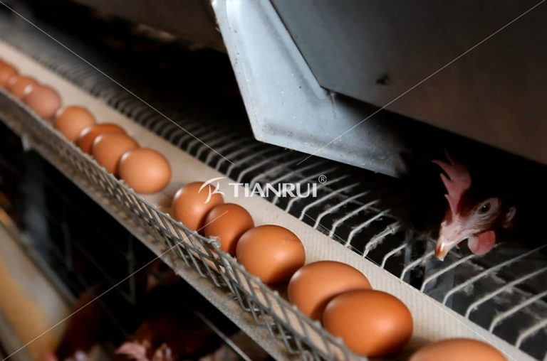 Poultry layer chicken white egg is better than the brown one