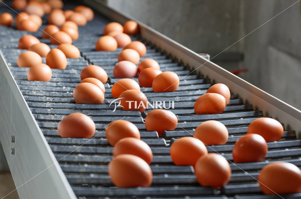 What are the major differences between layer chicken eggs