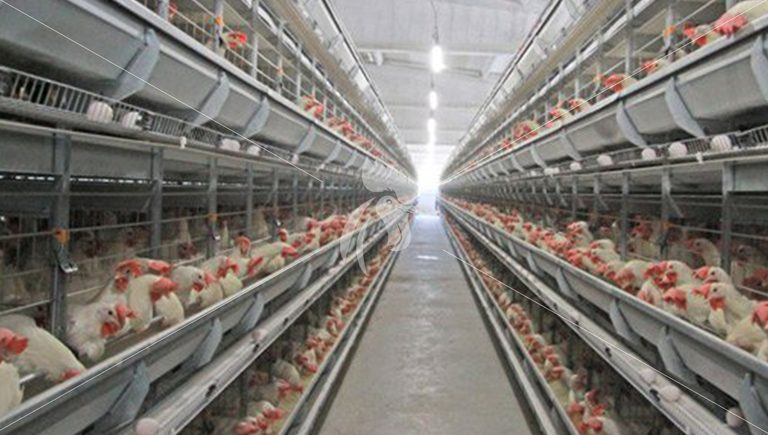 What do you need to concern about feed Management for chicken cage