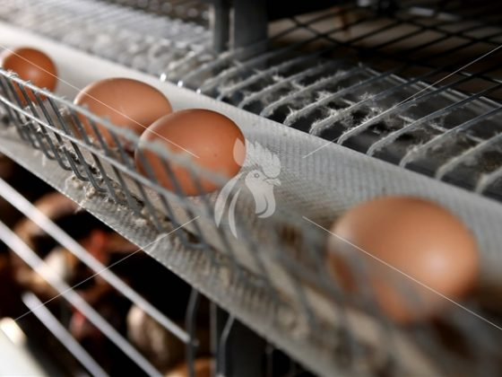 8 ways to improve egg production rate in abroad Chicken cage and Chicken layer cage farm