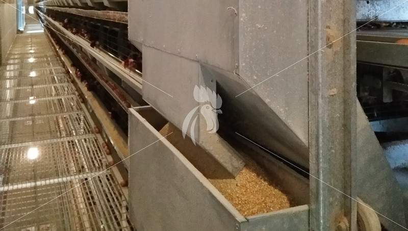 adjust-poultry-farm-chicken-feed-nutrition-level