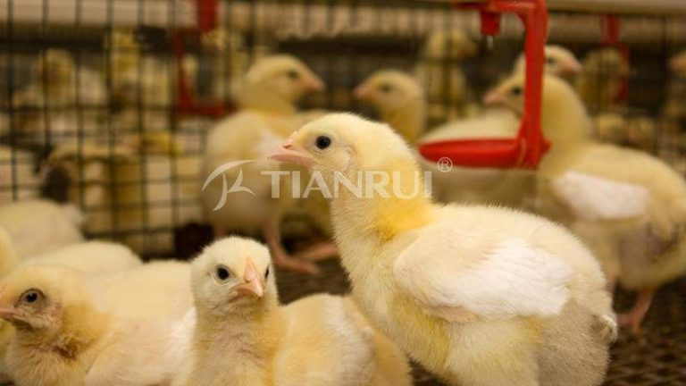 care-new-baby-chicks-chicken-farm