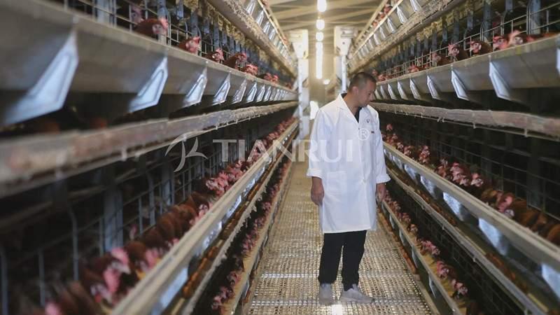 check-chicken-cage-poultry-farm