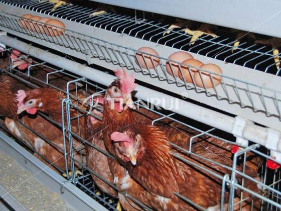differences-battery-cage-system-free-range-system