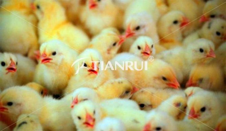 find-source-baby-chickens