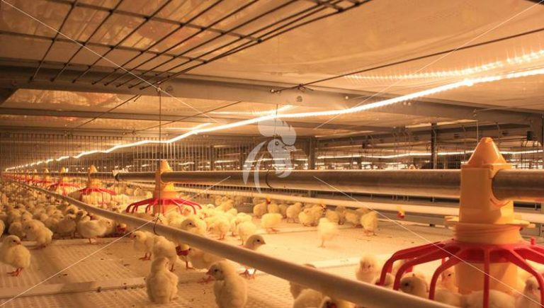 lightning-system-poultry-house-broiler-farming